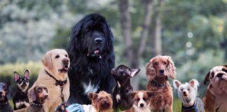 Top 10 des chiens les plus inteligents