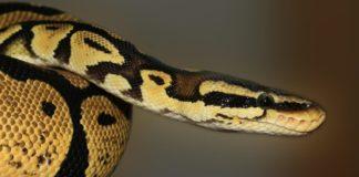 Un python capturé après avoir englouti le chat d'une famille