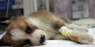 Un premier cas de chien contaminé par le virus ?