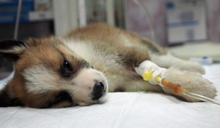 Coronavirus : Un premier cas de chien contaminé par le virus ?