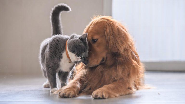 Les chats et les chiens victimes du coronavirus ?