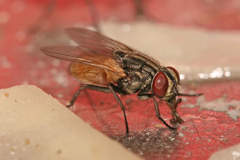 Vous en avez marre des mouches? voici des astuces naturelles pour s'en débarrasser